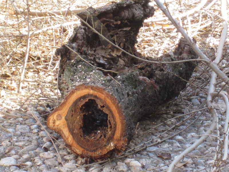 Una de las ramas taladas muestra los daños que sufre uno de los árboles de Carvajales.